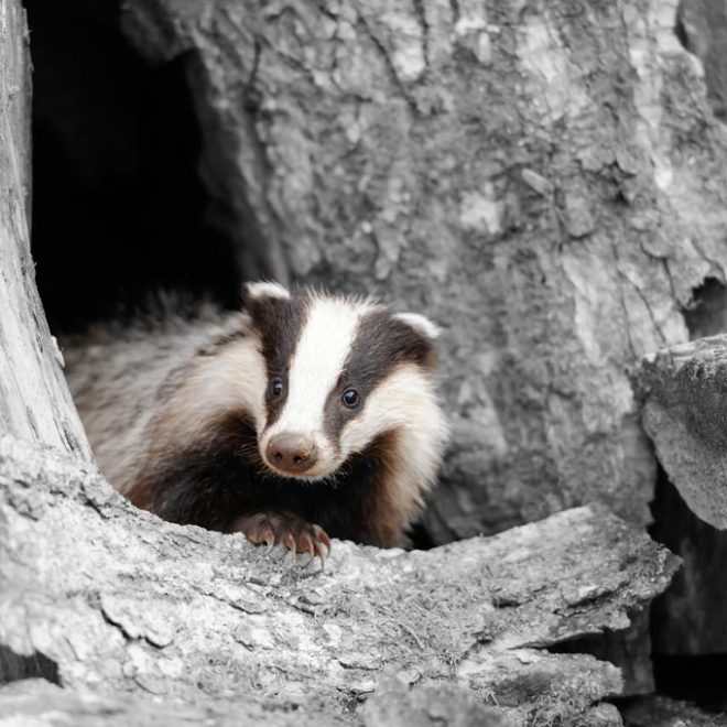 Badger near its burrow in the forest. Black and white photography with color badger