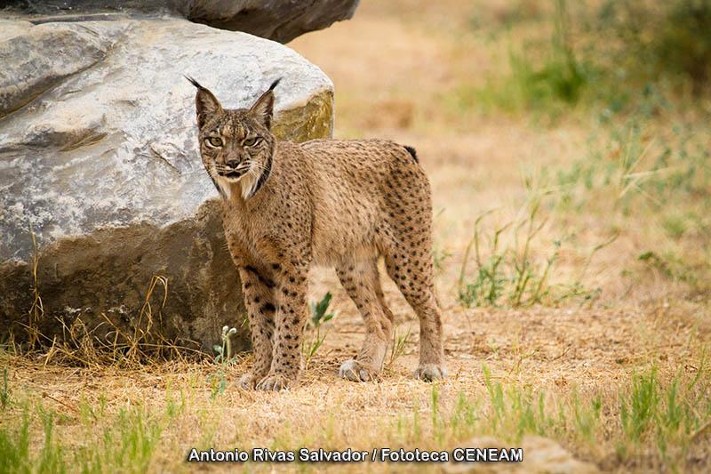 Lynx_pardinus