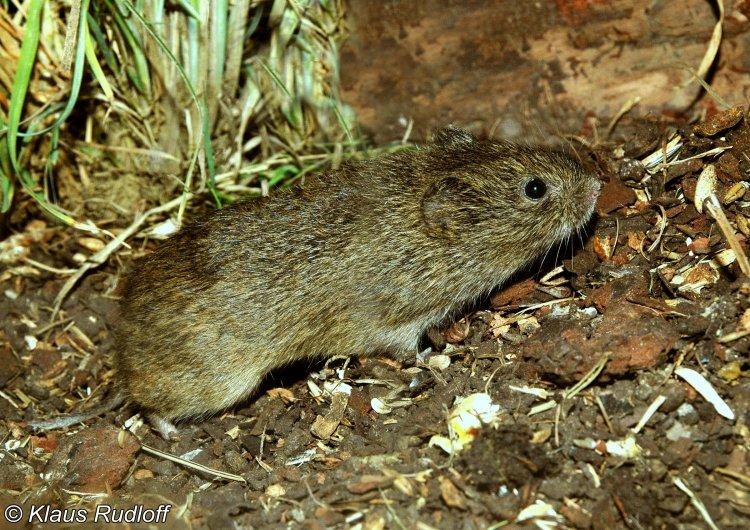 Microtus cabrerae