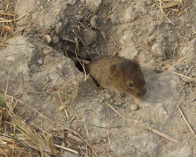 Steppe mouse