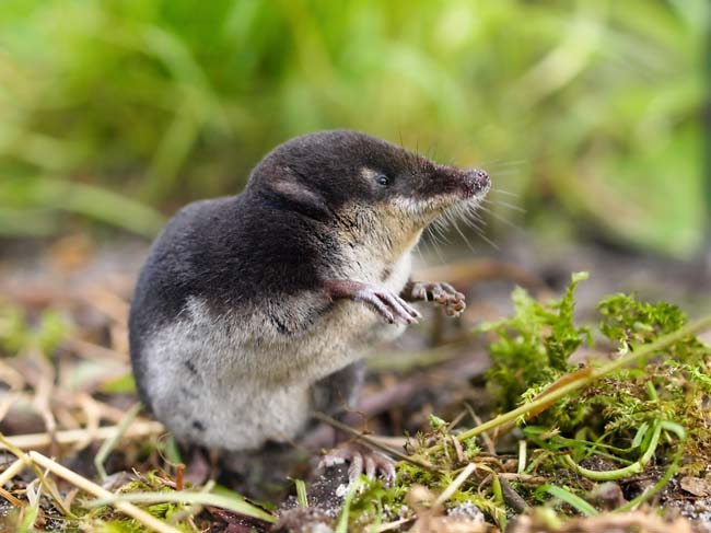 The Rare and Elusive Eurpean Water Shrew (Neomys fodiens) sitting on it's Hind Legs
