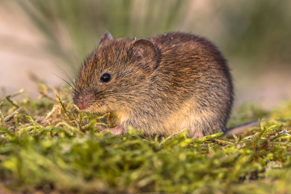 bank-vole-in-natural-moss-vegetation-PU9VFV6