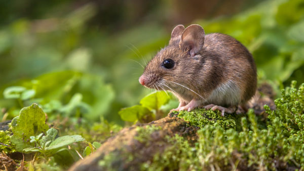 cute-wood-mouse-on-forest-floor-3AF7PLW