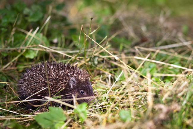 Baby European Hedgehog (Erinaceus europaeus) sniffing in grass, exploring the natural world