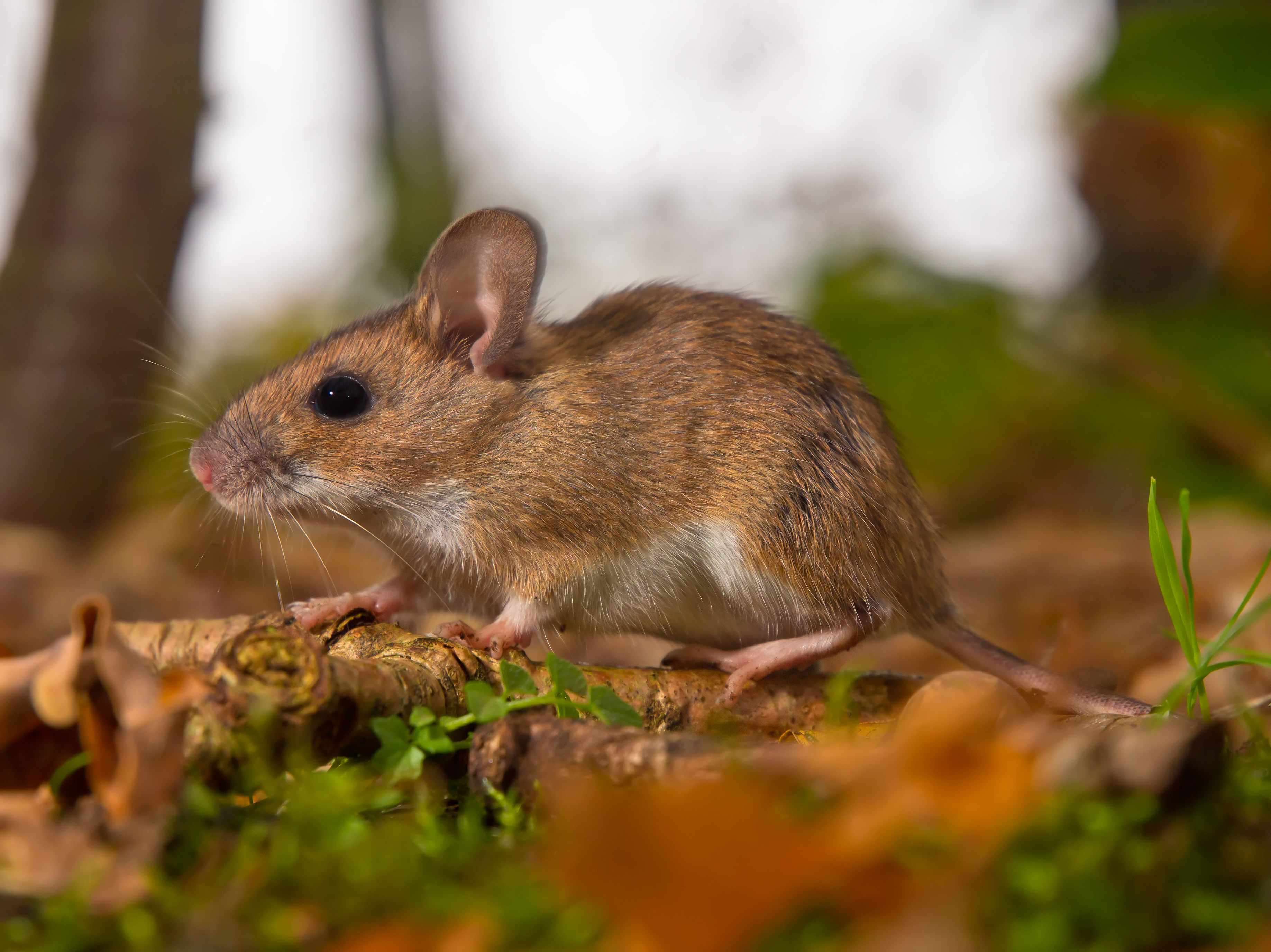 yellow necked mouse on forest floor