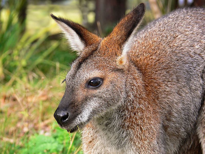 Red-necked_wallaby