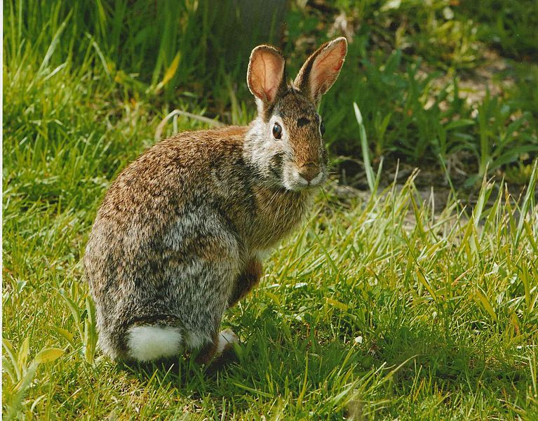 Eastern_cottonail_rabbit