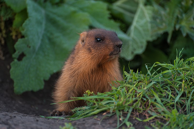 small_marmot